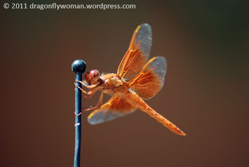 Why Are There Dragonflies On My Car The Dragonfly Woman