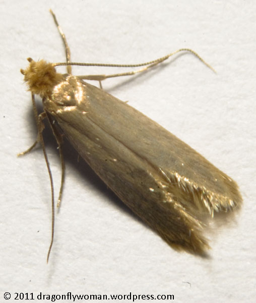 Gallery For gt House Moths Identification