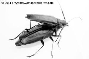 Palo verde beetle (Derobrachus hovorei)