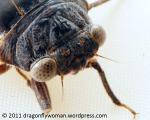 cicada setaceous