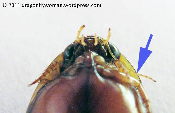 Dytiscid antenna