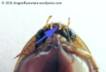 Dytiscid not antenna