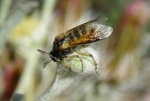 Ripiphorus vierecki
