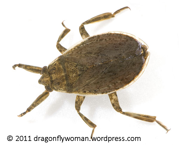 the giant water bug story analysis Abstract the giant water bug, subfamily lethocerinae, which has the largest body size among belostomatidae, is known to be a vertebrate specialist that preys upon fish, amphibians and snakes.