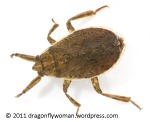 giant water bug