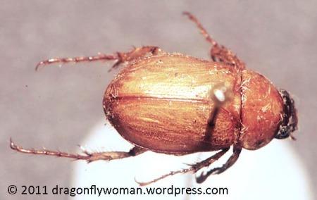 brown June bug