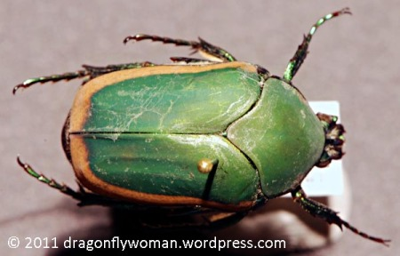 June bug - green