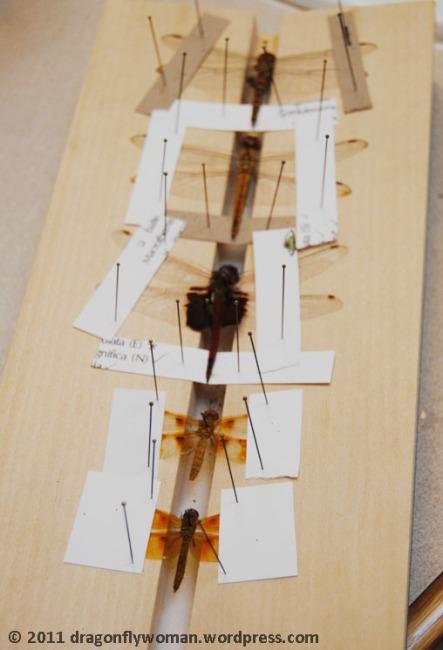 dragonfly spreading
