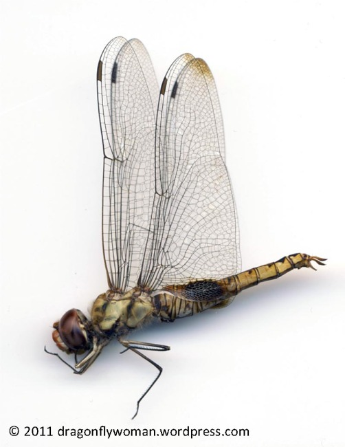 Pantala hymenaea male side view