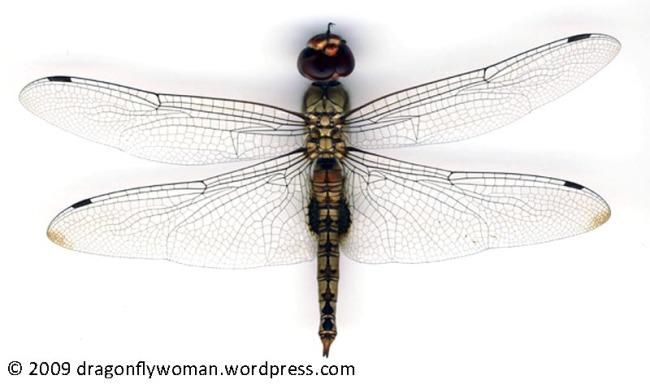 Pantala hymenaea male