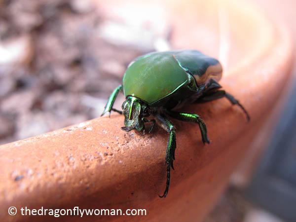 fig beetle