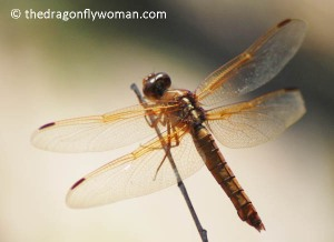 Libellula saturata female