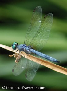 Pachydiplax longipennis male