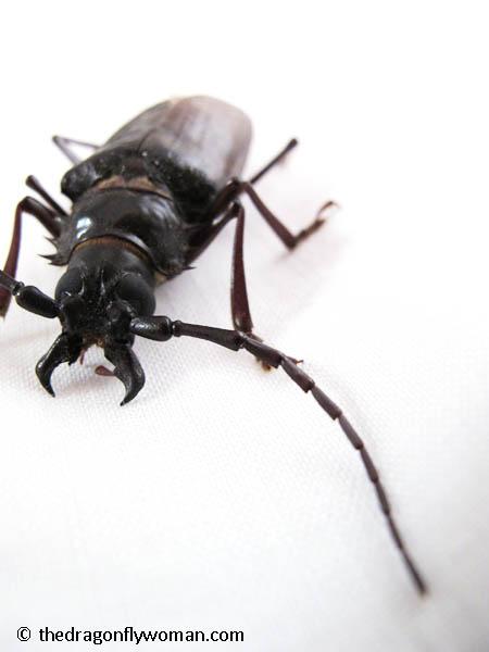 palo verde beetle antenna