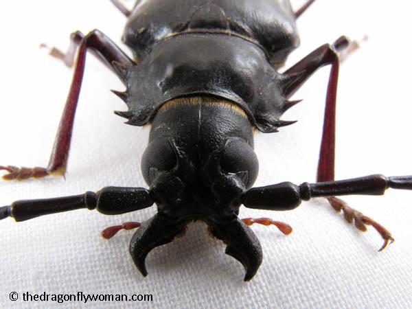 palo verde beetle jaws