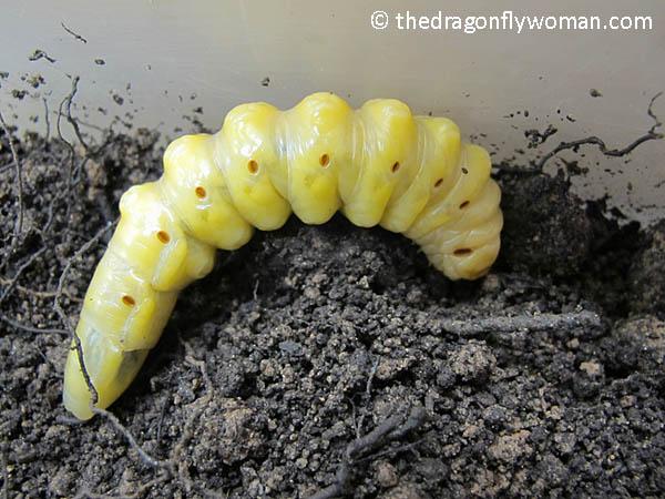 palo verde beetle larva