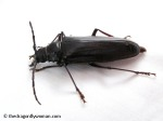 Palo verde beetle side