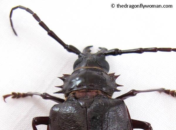 palo verde beetle thorax