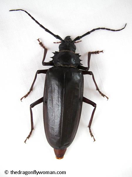 palo verde beetle top view