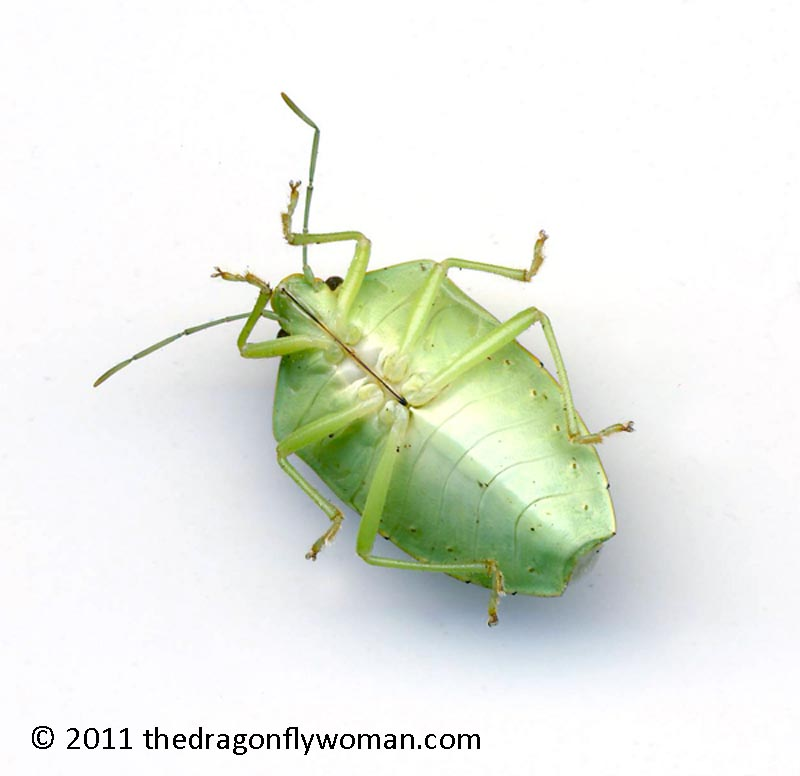 Diagram Of Green Stink Bug - DIY Enthusiasts Wiring Diagrams •