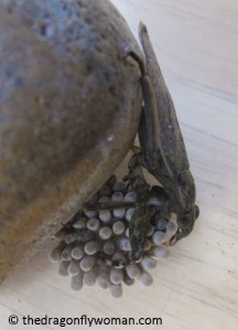 Abedus cannibalizing eggs