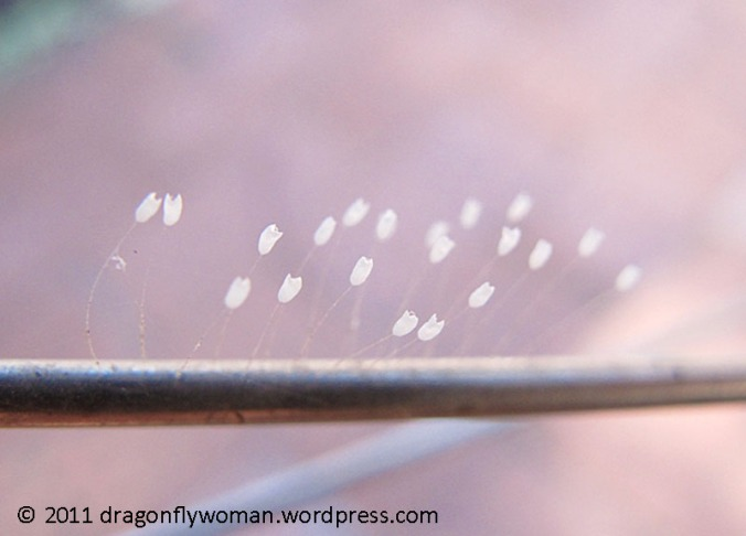 lacewing eggs on bike