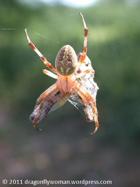spider eating grasshopper