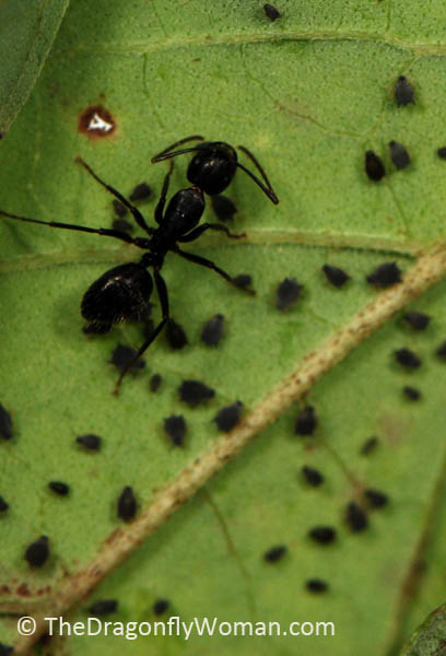 ant tending aphids
