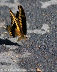 puddling butterfly