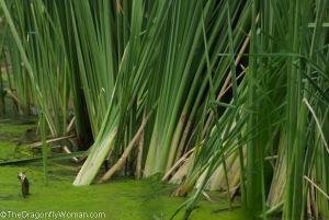 cattails and algae