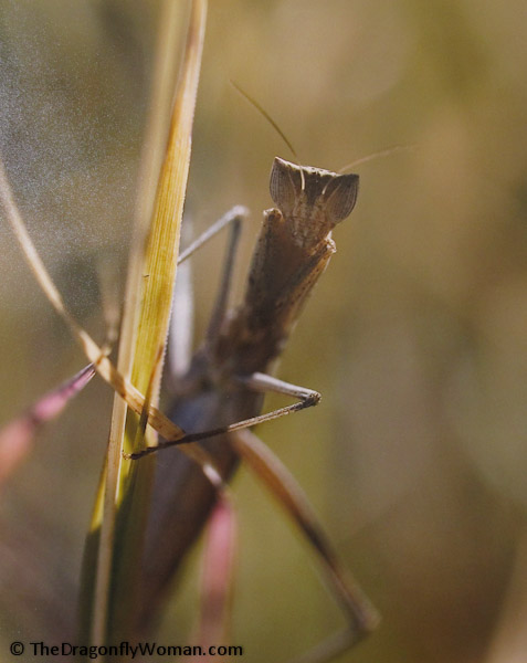 mantid photo