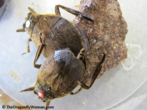 giant water bugs mating