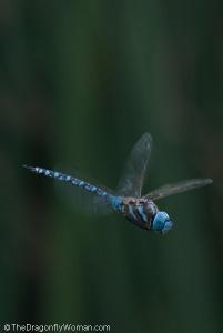 Blue eyed darner, Rhionaeschna multicolor, flying