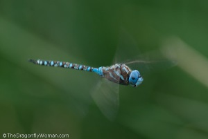 Blue eyed darner, Rhionaeschna multicolor, flying
