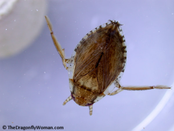 Diplonychus rusticus