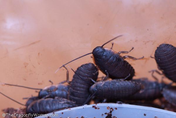 immature roaches