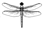 dragonfly graphic