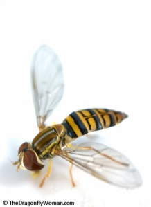 Toxomerus pollitus hover fly