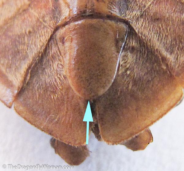 Abedus male genital plate