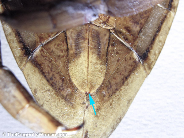 Lethocerus female genital plate