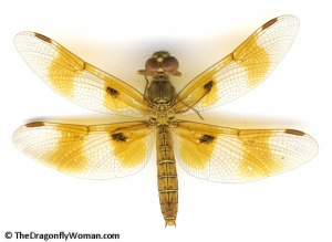Perithemis intensa dragonfly female