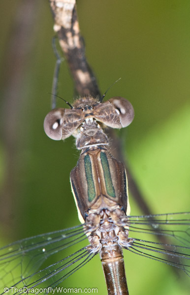 Dragonflies And Damselflies The Dragonfly Woman