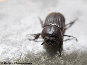 Hemiphileurus illatus beetle