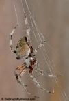 Spotted orbweaver spider