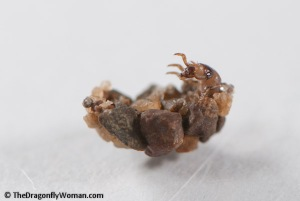 Glossosomatid caddisfly