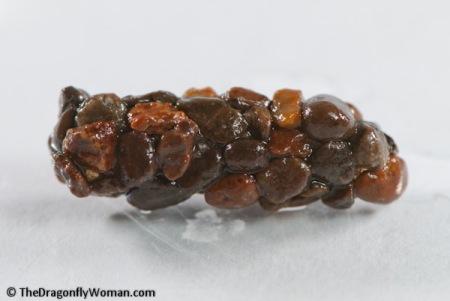 Limnephilid caddisfly pupa