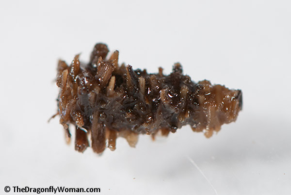 Lepidostomatid caddisfly case