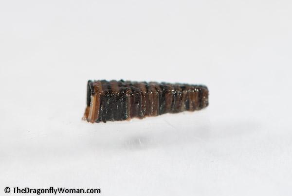Brachycentrid caddisfly case