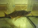 bonytail fish