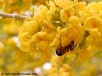 Honey bee on palo verde blossoms